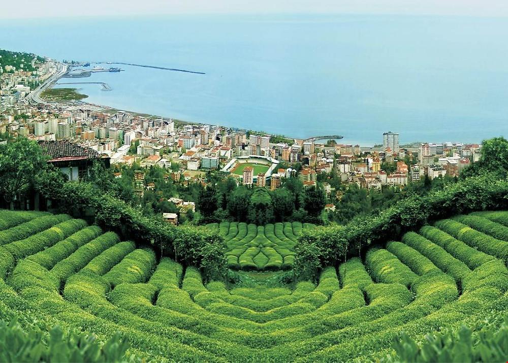 Organic tea farming in an urban area in Turkey.