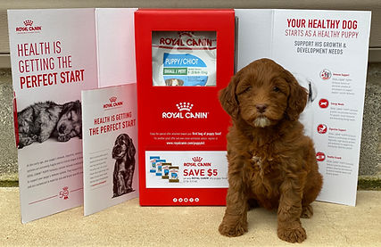 Labradoodle Puppies for sale Arkansas Mississippi Tennessee Missouri Texas