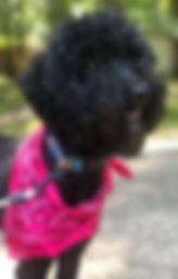 Black Sable Australian Labradoodle