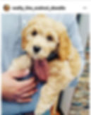 Sacremeno Australian Labradoodle Puppies For Sale