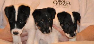 puppies_5weeks.JPG