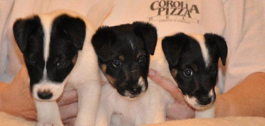 SFT Breeders | The American Fox Terrier Club