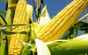 Government of India to Import Maize at concessional rate of duty