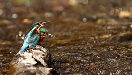Martins pêcheurs