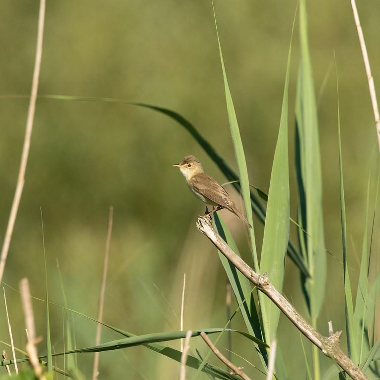 Balade : Reconnaître le chant des oiseaux des milieux humides