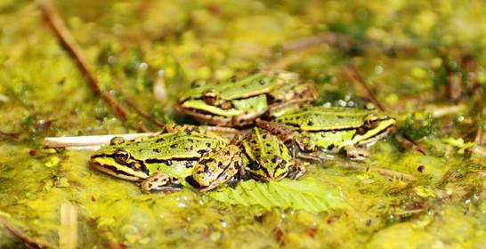 le gang des grenouilles vertes.JPG