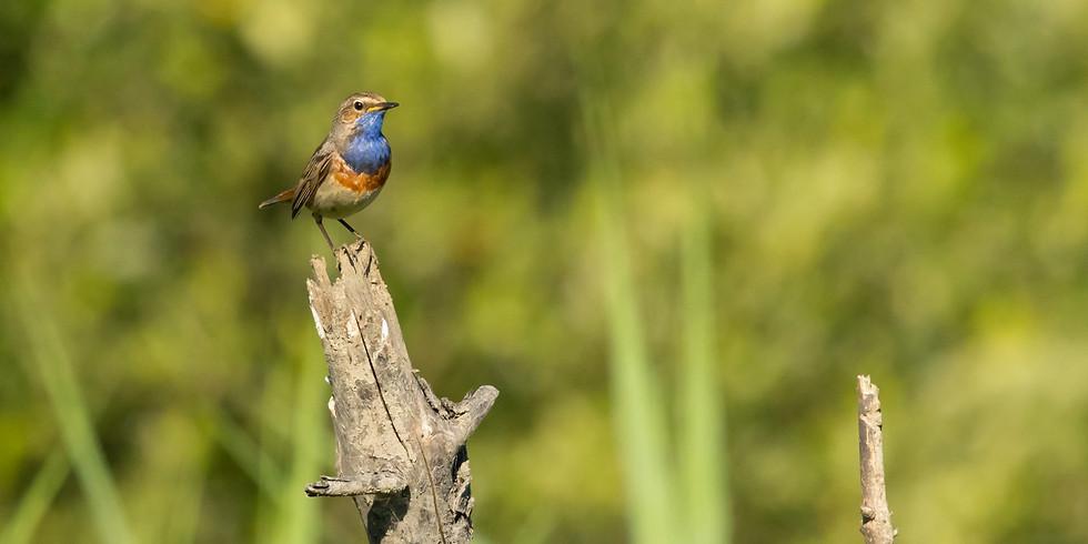 Balade: Oiseaux migrateurs des décanteurs de Longchamps et Hollogne-sur-Geer. Spéciale « Gorgebleue »