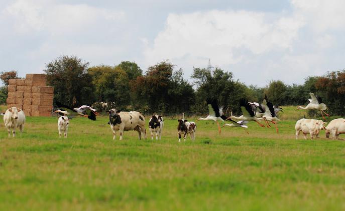 Cigognes blanches dans un champs de vaches
