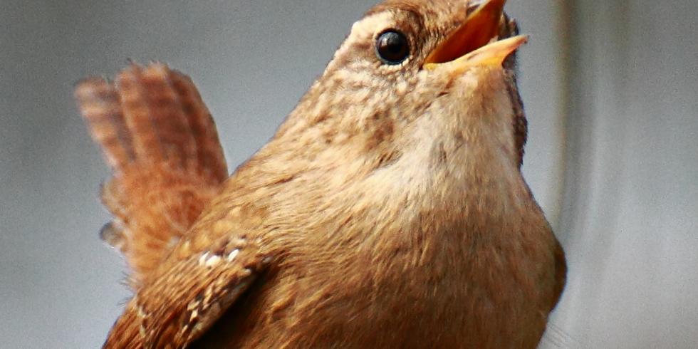 Balade : Reconnaître le chant des oiseaux communs - Floriffoux