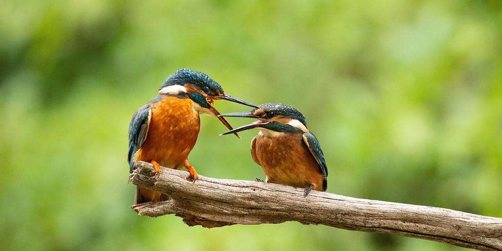 """Oiseaux des eaux vives spéciale """"martin-pêcheur d'Europe"""""""