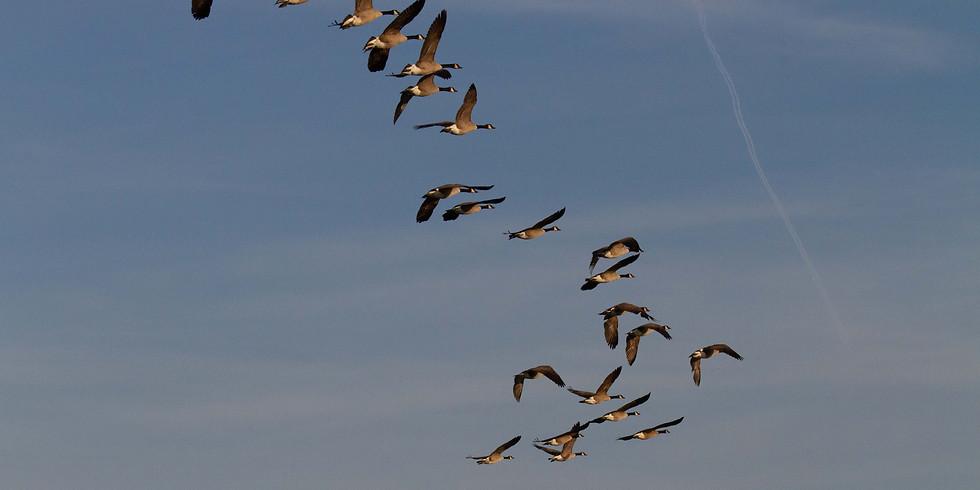 Balade : Oiseaux migrateurs des décanteurs de Longchamps et Hollogne sur Geer