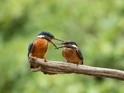 """Le saviez-vous? #5 - Le roi des pêcheurs ( """"The Kingfisher"""" en anglais)"""