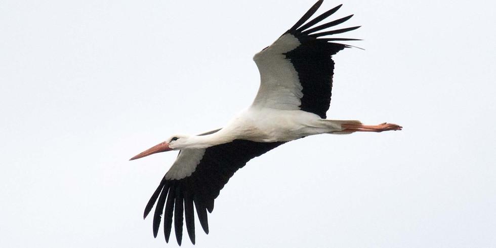 Balade : Oiseaux migrateurs des décanteurs de Longchamps et Hollogne-sur-Geer.