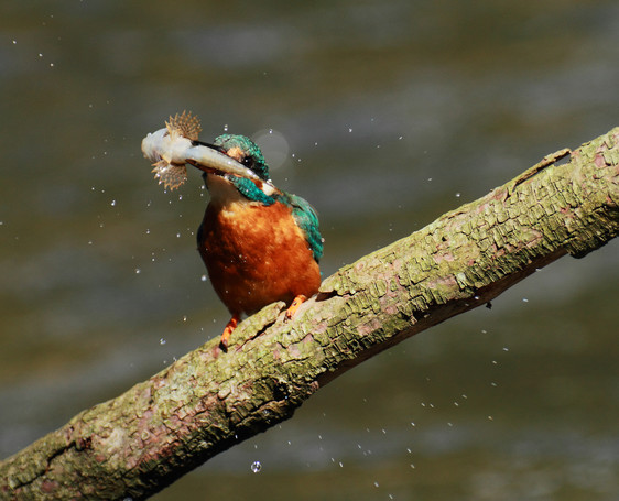 Martin pêcheur et chabot