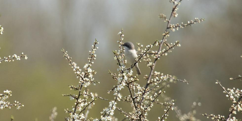 Balade : Oiseaux des bocages - Matagne la Petite
