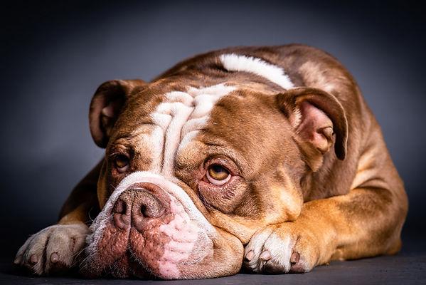 Bulldoge.jpg