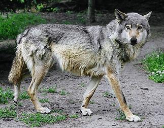 Wolf im Fellwechsel.jpg