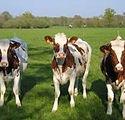 DairyCows.jpg