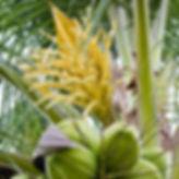 CoconutFlowers.jpg