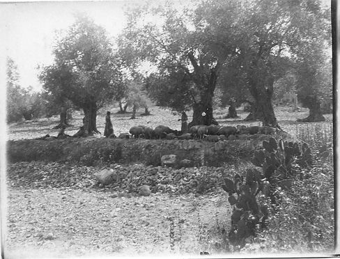 Herds among the olives.jpg