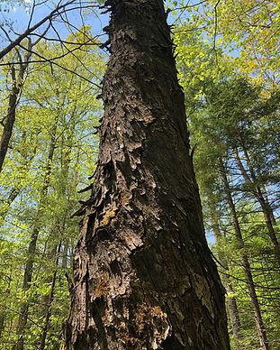 a big tree.jpg