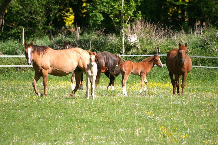 ÉLEVAGE de quarter horse
