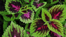 Botanical of the Month: Coleus forskolii- More than a Beautiful houseplant!
