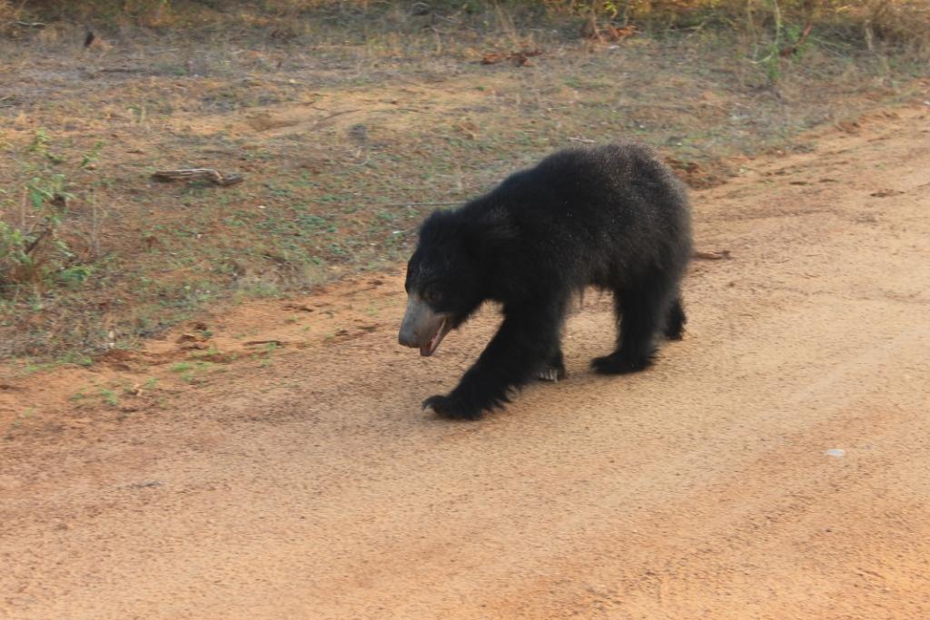 Карликовый медведь