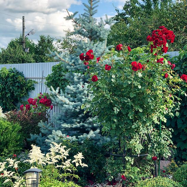 Роза плетистая и ель