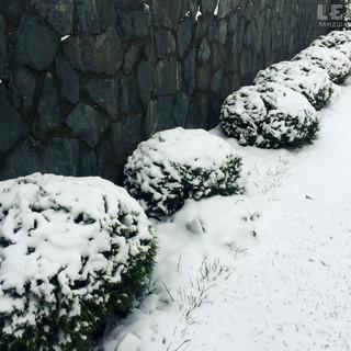 Туя Danica зимой