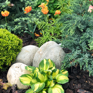Хоста и тюльпаны