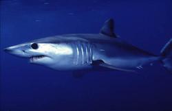 Shark Fishing trip, Blue shark