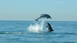 Dolphins Safari in Cascais