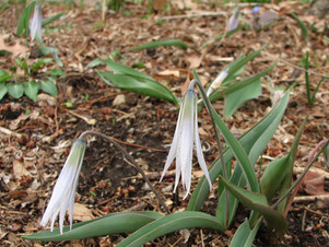 Fawnlilies — an early sign of spring at Ritchie Cemetery