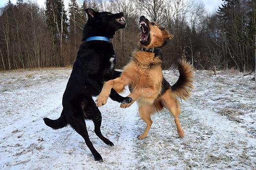 כלבים רבים, fighting dogs