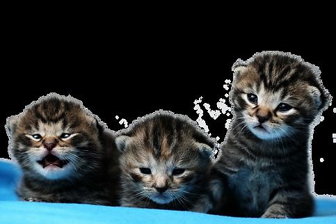 חתלתולים צעירים