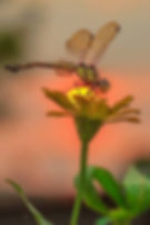 Dragonfly on flower.JPG