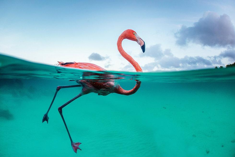 flamingo swim.jpg