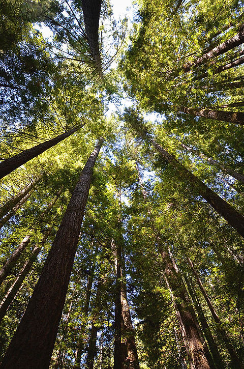 looking-up-into-the-trees-mike-fusaro.jp