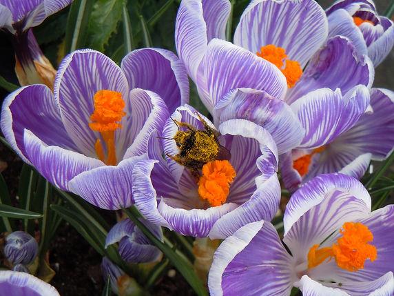 Crocus-Pickwick-with bee.jpg