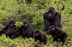 gorillas.jpg