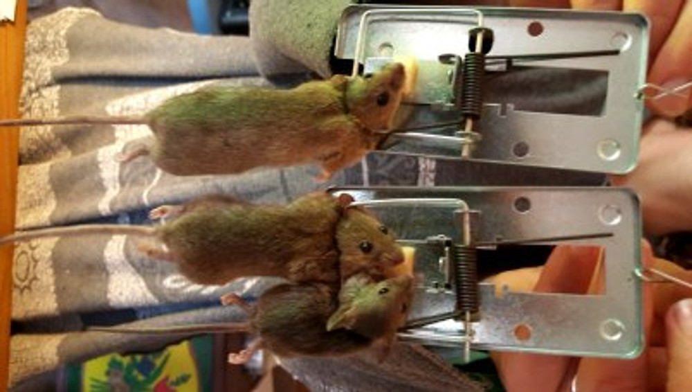 Mice trapped