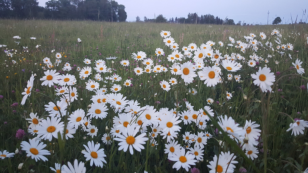The upside - lots of rain means lots of wild flowers in the local fields