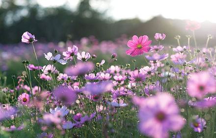 Field of cosmos flower.jpg