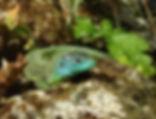 Smaragdeidechse_M1.jpg