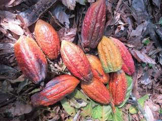 What the heck is shade-grown cacao? This pricey treat is actually good for the planet.