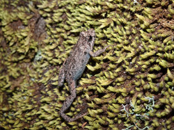 Tusked frog?