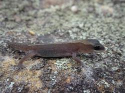 Eastern Stone gecko (hatchling)