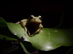 Green dotted treefrog