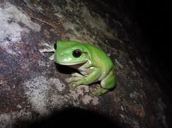 Green Tree-frog